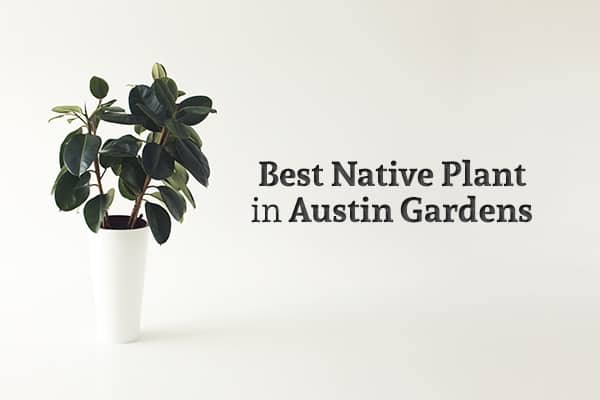 "A white vase holds a leafy plant and the words ""Best Native Plants in Austin Gardens"" stands beside it"