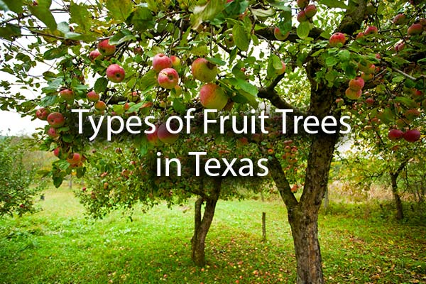 Apple trees growing in a garden with the words, Types of Fruit Trees in Texas.